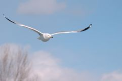 Seagull. Is flying high above trees Royalty Free Stock Photo