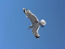 Seagull. Flying and hovering through the air Stock Photography