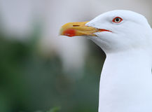 Seagull. Closeup of a mature gull Stock Images