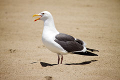 Seagull. A seagull vocalizes on a beach Royalty Free Stock Photos