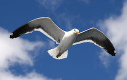 Seagull. A flying seagull with the sky on the background Stock Photo