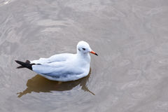 Seagull. A seagull is on sea water Royalty Free Stock Images