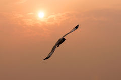 Seagull. A seagull is flying in front of the sunset view Royalty Free Stock Image