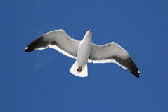 Seagull. A flying seagull with the sky on the background Stock Photos