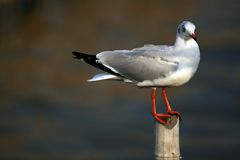 Seagull. Close up picture of Seagull in motion Stock Images