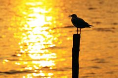 Seagull. Beach and seagulls in sunset Royalty Free Stock Photos