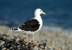 Seagull. Side view of a single seagull on a rocky beach Royalty Free Stock Image