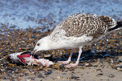 Seagull. Eating a fish cadaver Stock Photos