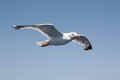 Seagull. White seagull on the blue sky Stock Photo