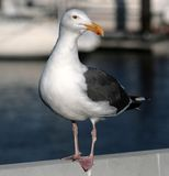 Seagull. Standing carefully on a railing Royalty Free Stock Image