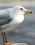 Seagull Portrait Wild Sea Bird Animal Outdoors Royalty Free Stock Photos