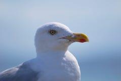 seagull 2 πορτρέτου Στοκ φωτογραφίες με δικαίωμα ελεύθερης χρήσης
