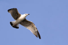 Seagull 2 Royalty Free Stock Photos