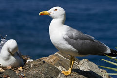 Seagull 2 Stock Photography