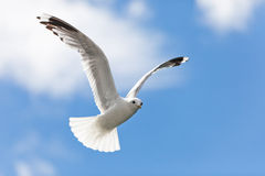 Seagull. Flying in the sky Stock Photo