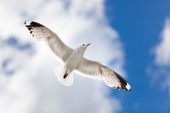 Seagull. Flying in the sky Stock Photography