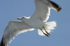 Seagull. On clear blue sky Stock Photography