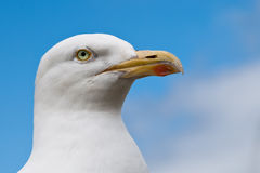 Seagull. Portrait of a seagull in front of the blue sky with clouds stock image