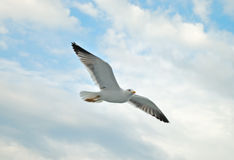 Free Seagull Royalty Free Stock Photography - 20826337