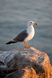 Seagull. The picture of seagull neat the Atlantic ocean Royalty Free Stock Photos