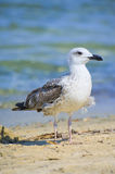 Seagull. Standing on the shore Stock Image