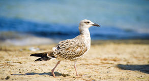 Seagull. Walking on the shore Stock Photo