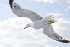 Seagull. A bird in flight close-up royalty free stock photos