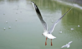 Seagull. A seagull flying, in background Dambovita River,Bucharest stock photography