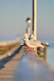 Seagull. A few Seagull at a bridge Royalty Free Stock Images