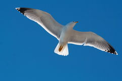 Free Seagull Royalty Free Stock Image - 2177816