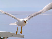 Seagull. OLYMPUS DIGITAL CAMERA Royalty Free Stock Photography