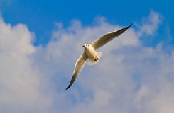 Seagull. Flying seagull on the sky Royalty Free Stock Photography