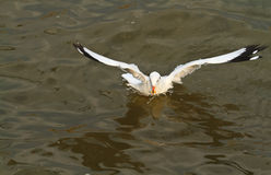 Seagull. Flying to eating food in the sea Stock Photography
