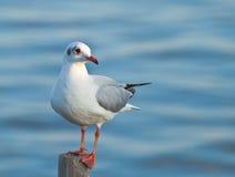 Free Seagull Royalty Free Stock Photo - 22714155