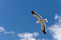 Seagull. Flying in auckland, New Zealand Royalty Free Stock Photo