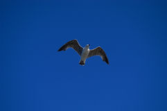 Seagull. Flying Stock Photography