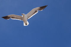 Seagull. Flying in a wonderful blue sky Royalty Free Stock Photo