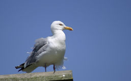 Seagull. Perched with head turned left Royalty Free Stock Photos