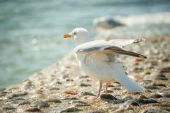 Free Seagull Stock Photo - 24835970