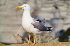 Seagull. Pose on the stone Royalty Free Stock Photography