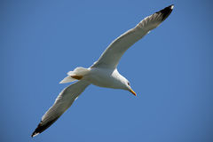 Seagull. In flight on clear blue sky background Stock Images