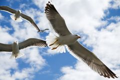 Seagull. S in the air, Iceland stock image