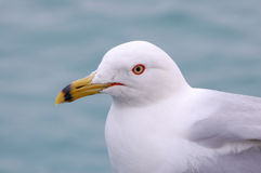 Seagull. Close-up seagull shot, nice pose isn't it Royalty Free Stock Images