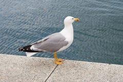 Free Seagull Royalty Free Stock Photo - 2667325
