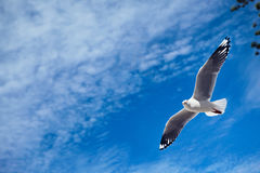 Seagull Royalty Free Stock Photography