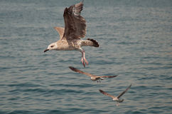 Seagull. S typically have harsh wailing or squawking calls Royalty Free Stock Image