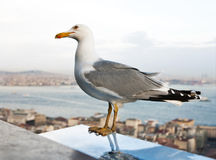 Seagull. Gray and white seagull on the rooftops of Istanbul stock image