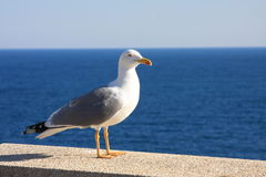 Free Seagull Royalty Free Stock Images - 27298209