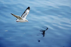 Seagull. Stock Images