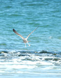 Seagull. Over sea stock images